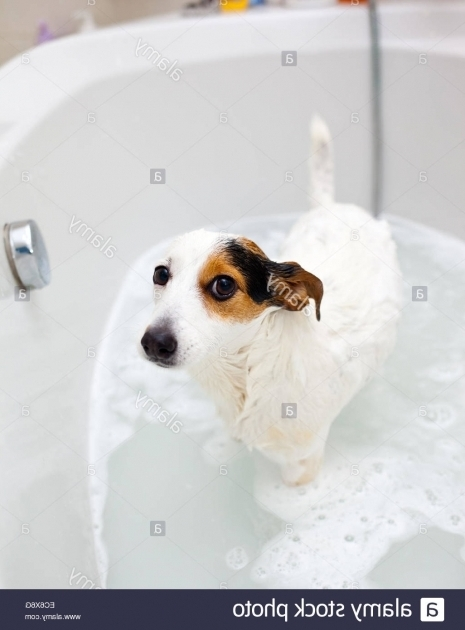 Incredible Dog In A Bathtub Jack Russell Dog Taking A Bath In A Bathtub Stock Photo Royalty